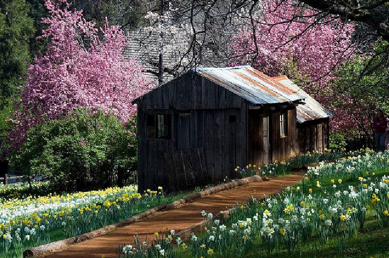 Planting Hope Daffodil Hill